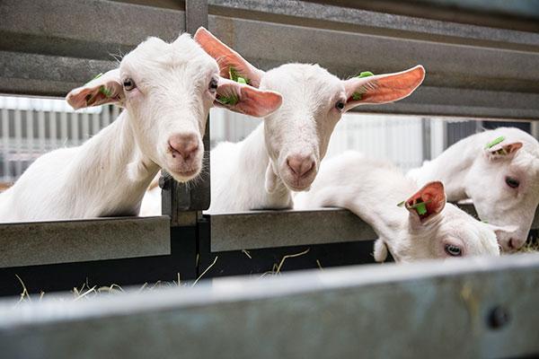 landbouwhuisdieren-melkgeiten-2