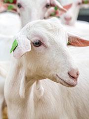 landbouwhuisdieren-melkgeiten
