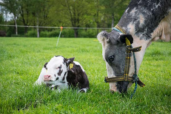 landbouwhuisdieren-rundvee-3