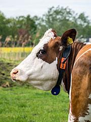 landbouwhuisdieren-rundvee